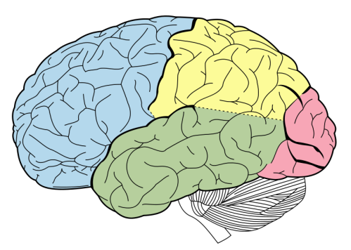 800px-Lobes_of_the_brain_NL.svg